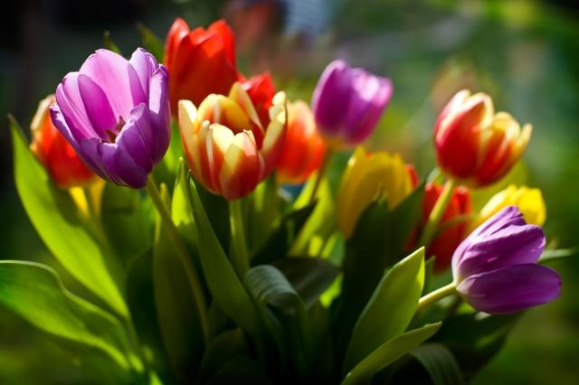 optimistic tulips